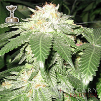 Apothecary Genetics Seeds OG Kush Regular