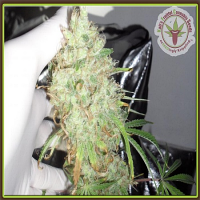 Dr Krippling Seeds Night Night Feminized (PICK N MIX)