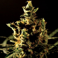 Bulldog Seeds The Bulldog Haze Feminized