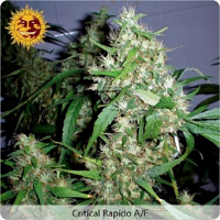 Barney's Farm Seeds Auto Critical Kush Feminized