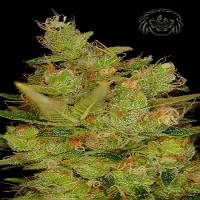 Dready Seeds Dready Cheese Feminized