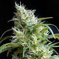 Sweet Seeds Flash Back #2 Feminized