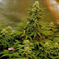 Magus Genetics Seeds Double Dutch Feminized