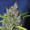 Sagarmatha Seeds Blueberry Bud Regular