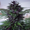 Homegrown Fantaseeds Homegrown Purple Regular