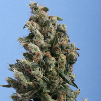 T.H.Seeds Kushage Feminized