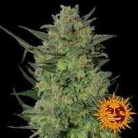Barney's Farm Seeds L.S.D. Feminized (PICK N MIX)