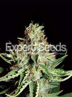 Expert Seeds Sweet Cream Auto Feminized