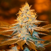 T.H. Seeds Strawberry Glue (Club Pack) Feminized
