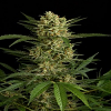Dinafem Seeds Original Amnesia Auto Feminized (PICK N MIX)