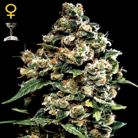 Green House Seeds Jack Herer Feminized