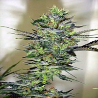 Magus Genetics Seeds Exile Feminized