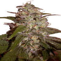 Seedmakers Seeds Orange Light Feminized