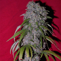 Female Seeds Sex Bud Feminized