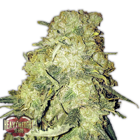 Heavyweight Seeds Goldmine Feminized