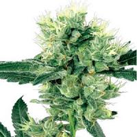 White Label Seed Compnany White Haze Regular
