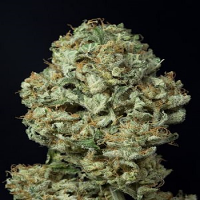Dinafem Seeds Dinamex Auto Feminized PICK N MIX