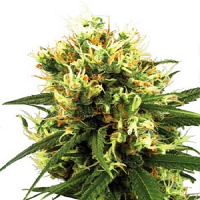 White Label Seed Company White Haze Automatic Feminized