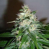 World of Seeds Medical Collectioin Mazar x Great White Shark Feminised