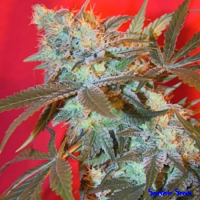 Female Seeds Iced Widow Feminized (Indoor)