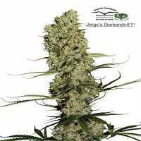 Dutch Passion Seeds Jorge's Diamonds #1 Feminized