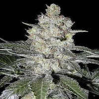 Seedsman Seeds Original Skunk #1 Feminised