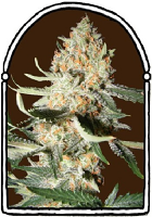 The KushBrothers Seeds Exotic Kush Feminized