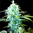 Seeds of Life Kabala Auto Feminized Pick N Mix
