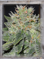 Garden of Green Seeds Super Skunk Kush Feminized