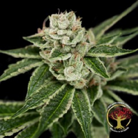 Crockett Family Farms Seeds Crockett's Dawg Regular