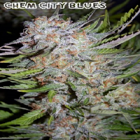Mephisto Genetics Seeds Chem City Blues Auto Feminised
