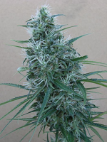 Ace Seeds Orient Express Feminized