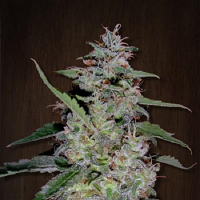 Ace Seeds China Yunnan Feminized