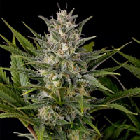 Humboldt Seed Organisation Pineapple Skunk Feminized
