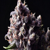 Pyramid Seeds  Auto Purple Feminized