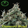 Sagarmatha Seeds Diamond Head Regular