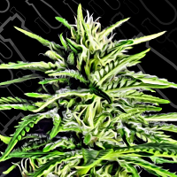 Critical Mass Collective Seeds Auto Massassin Feminized