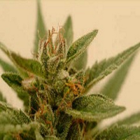 DNA Genetics Seeds Connie Chung Feminized