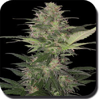 Buddha Seeds Red Dwarf Auto Feminized