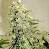 Hazeman Seeds Elephant Stomper Regular