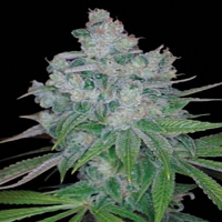 DNA Genetics Seeds Kandy Kush x Skunk Regular