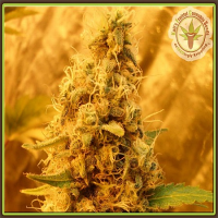 Dr Krippling Seeds Jack Mist Tree Feminized
