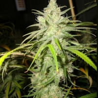Loud Seeds Dementia Feminized