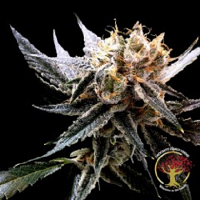 Crockett Family Farms Seeds Crockett's Sour Tangie Regular