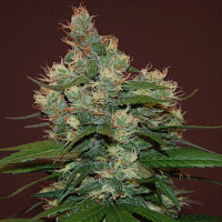 Cream of The Crop Seeds Sour Turbo Diesel Feminized PICK N MIX