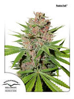 Dutch Passion Seeds Passion Fruit® Feminized