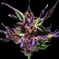 Grand Daddy Purple Seeds Original Grand Daddy Purp Feminized