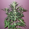Secret Garden Seeds White Citrus Auto Feminized
