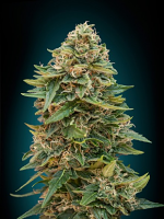 Advanced Seeds Auto Skunk 47 Feminized