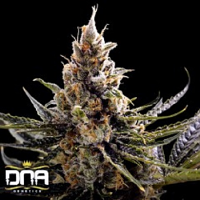 DNA Genetics Seeds 24K Gold Feminized
